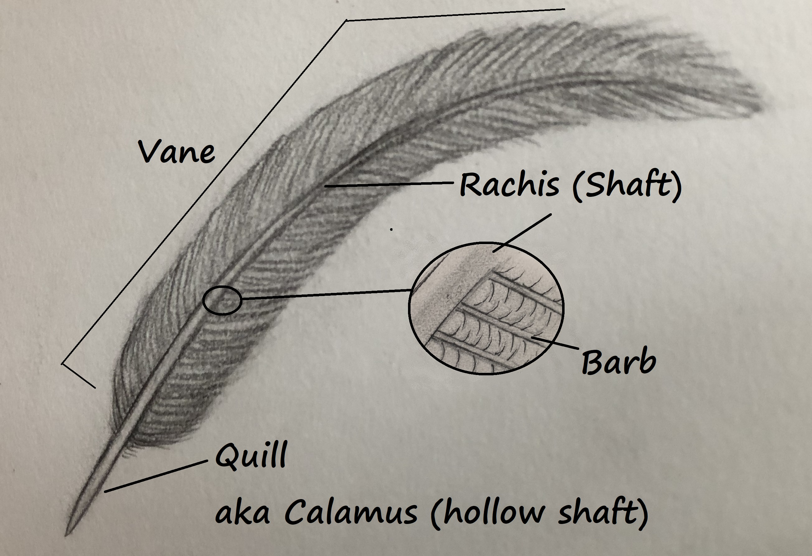 Feather terminology drawing.